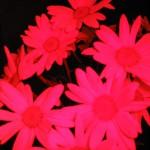 Pink_Daisy Art Photography AF Photos LLC